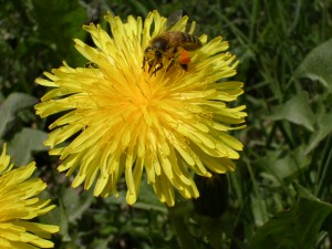 Bee_on_dandelion
